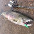 セルフペイントしたアブ・トビー(18g)で釣ったサーモン(オス、65cm)in請戸川(2008/11/15)