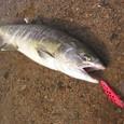 YSミノーで釣った請戸川サーモン(2008/11/15)