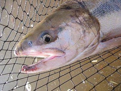 サーモン(メス、80センチ、4.6kg)in請戸川(2007/10/28)