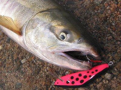 サーモン用YSミノーで釣ったサーモン(メス、80センチ)in請戸川(2008/11/15)
