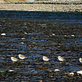 ハマシギの群れ(2014年11月15日、栃木県小山市の鬼怒川)