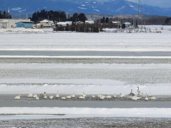 雪の中の白鳥の群れ(栃木県宇都宮市)