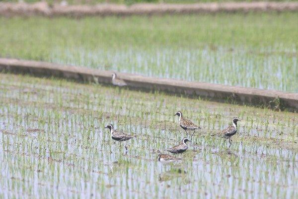 ムナグロとキョウジョシギの群れ  in 栃木県真岡市(2010/05/09)