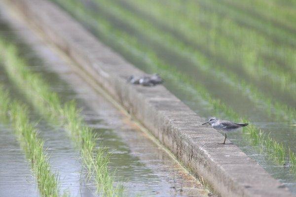 キアシシギ  in 栃木県真岡市(2010/05/09)