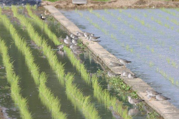 キアシシギの群れ(2011/05/08)
