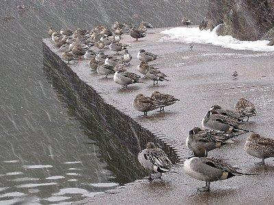 雪の中のカモ達