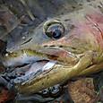 YSミノー(70mm、8g)で釣ったニジマス(45cm) in 丸沼