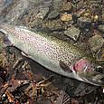 ベスパ(5g、オレンジ)で釣ったニジマス(48cm) in 丸沼