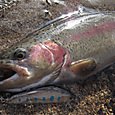 YSミノーで釣った丸沼レインボー・34cm(2011/11/12)