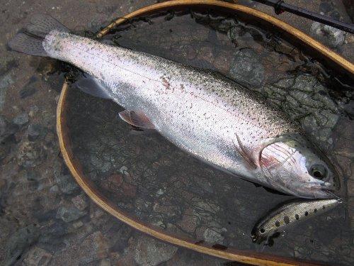 YSミノーにヒットしたニジマス(35cm) in 川俣湖(2012/07/01)