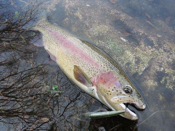 M-1インスパイアミノーで釣ったニジマス(45cm) in 丸沼