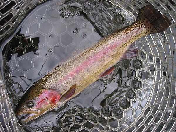 YSクランクで釣ったニジマス(36cm)in丸沼(2010/11/23)