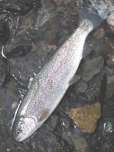 ニジマス(30cm) in 川俣湖(2009/5/6)