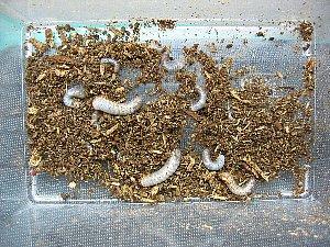 アトラスオオカブト幼虫14匹