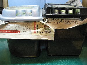 アトラスオオカブト幼虫