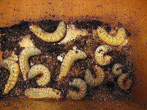 アトラスオオカブト幼虫・一部単独飼育に