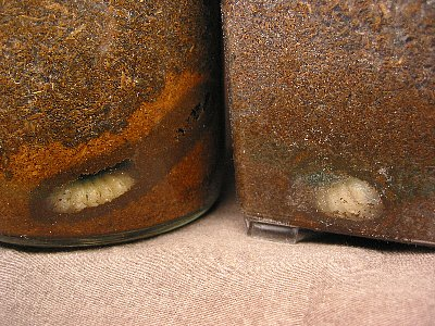 ギラファノコギリクワガタ幼虫が前蛹状態