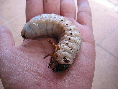 アトラスオオカブト幼虫(28グラム)
