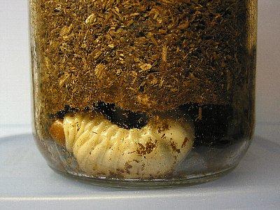 ギラファノコギリクワガタ幼虫No1・蛹室作り開始