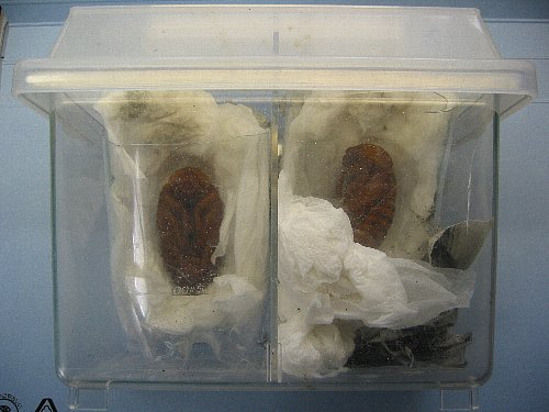 アトラスオオカブト人工蛹室・上から見たところ
