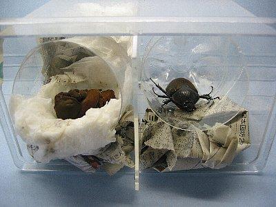 アトラスオオカブト・人工蛹室