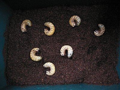 アトラスオオカブトの幼虫