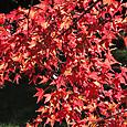古賀志山麓の赤川ダムの紅葉