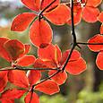 白笹山で見つけた紅葉