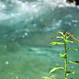 鬼怒川上流の渓流のトンボ