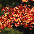 川俣の紅葉