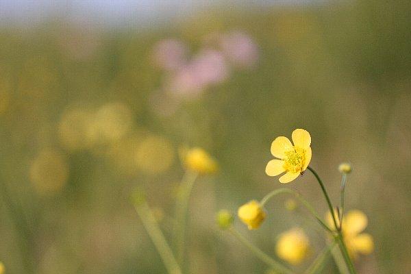 鬼怒川の土手に咲くウマノアシガタ