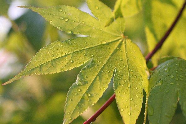 雨上がりの庭の新緑