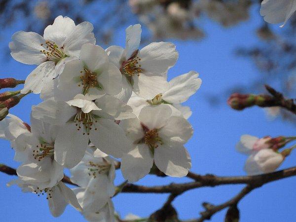桜の開花(宇都宮市)