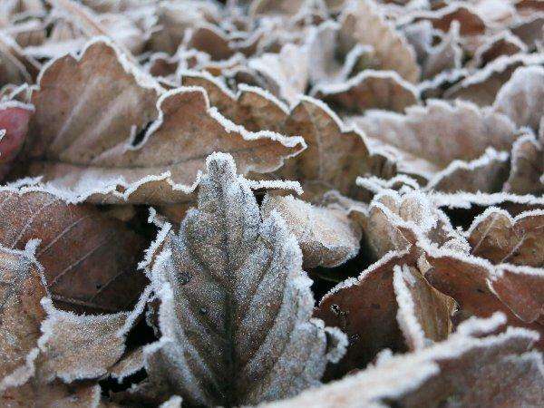 霜が付いた枯れ葉