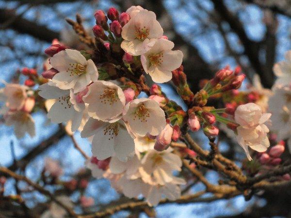 宇都宮の開花した桜