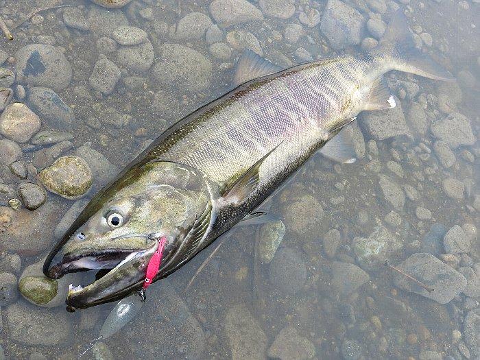 那珂川サーモン(75cm、3kg) in 栃木県那珂川サケ資源有効利用調査