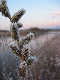 霜が付いたネコヤナギ