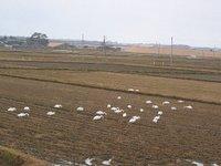 新潟県荒川の近くの水田で餌をついばむハクチョウの群れ(2009/12/12)