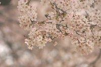 宇都宮の満開の桜