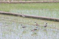 ムナグロとキョウジョシギの群れin 栃木県真岡市(2010/05/09)