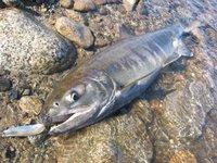 木戸川で釣ったサーモン