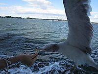 松島・遊覧船で、手から餌を食べるカモメ(ウミネコ)