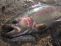 YSミノーで釣った丸沼レインボー(34cm)