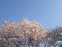 満開の宇都宮の桜