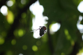 セミを襲うオオスズメバチ