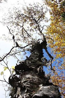 金精山頂付近のシラカバの老木