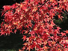 赤川ダムの紅葉
