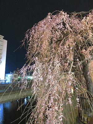 田川沿いのしだれ桜