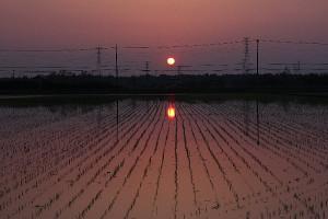 水田に映る朝日