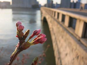 万代橋のサクラ
